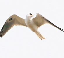 White Tailed Kite by SuddenJim