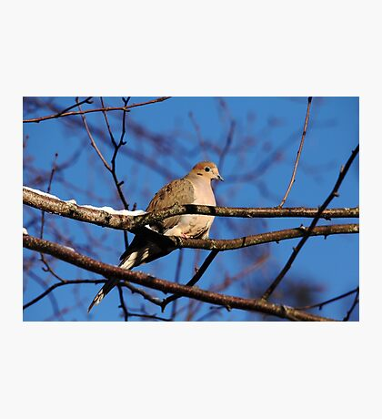 Mourning Dove In Winter Light Photographic Print