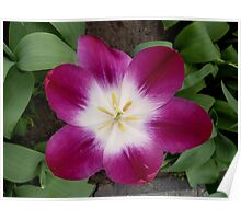 Purple tulip showing a bright heart Poster