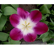 Purple tulip showing a bright heart Photographic Print