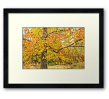 Autumn's Golden Glory - Maple Tree in Fall Attire Framed Print