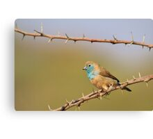 Blue Waxbill - African Wild Bird Background - Bliss of Colors in Nature Canvas Print
