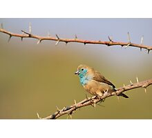 Blue Waxbill - African Wild Bird Background - Bliss of Colors in Nature Photographic Print