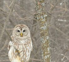 Winter Barred Owl Sticker