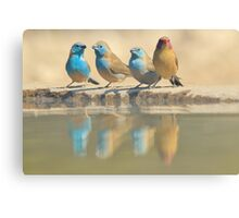 Exotic Colorful Wild Birds from Africa - Blue and Violet-eared Waxbill - Colors in Nature Canvas Print