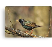 European Starling - Colorful Wild Birds - Iridescent Green Canvas Print