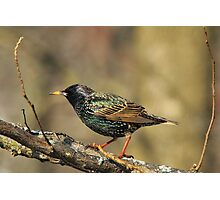 European Starling - Colorful Wild Birds - Iridescent Green Photographic Print