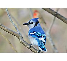 Blue Jay - Exotic Colorful Wild Birds - Natural Beauty Photographic Print