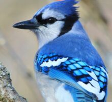 Blue Jay - Exotic Colorful Wild Birds - Natural Beauty Sticker