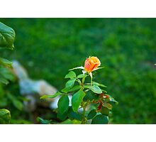 Soft little Rose Bud... Photographic Print
