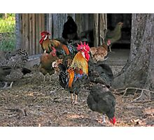 Rooster in the hen house Photographic Print