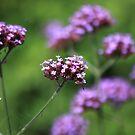 The flowers in the walled garden. by John Dalkin