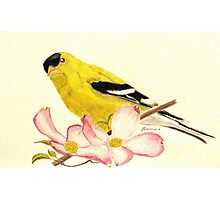 Goldfinch Spring Photographic Print