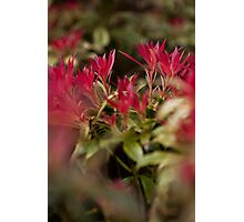 red bloom Photographic Print