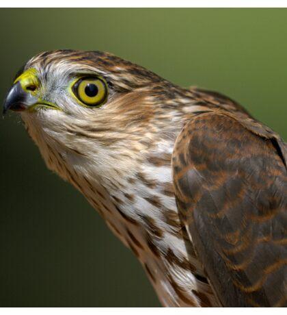 Sharp-shinned Hawk Portrait Sticker