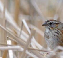 Shy Swamp Sparrow Sticker