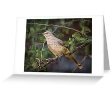 Curved-bill Thrasher: BL9A6330 Greeting Card