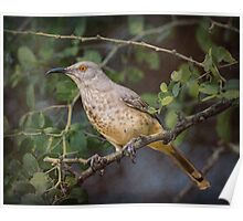 Curved-bill Thrasher: BL9A6330 Poster