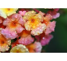 lantana in the rain by bs hilton Photographic Print