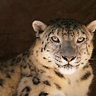 Snow Leopard ~ Panthera uncia by roger smith