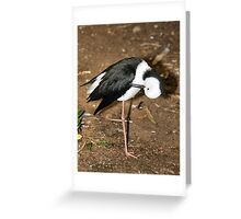 Pied Stilt Preening Greeting Card