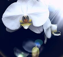 Orchid..Reverence, Innocence by jewd barclay