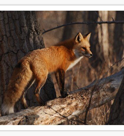Fox hunt Sticker