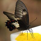 butterfly at Melbourne Zoo - on a feeding platform by gaylene