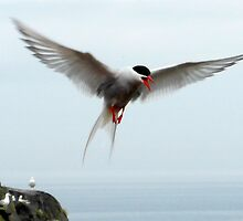 Arctic Tern by ©The Creative  Minds