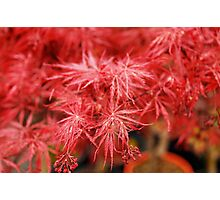 Red Acer Leaves Photographic Print