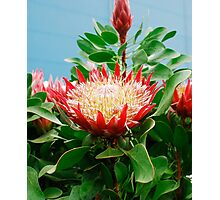 Protea Cynaroides Flower Photographic Print
