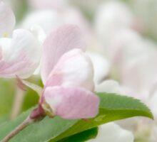 Soft freshness of apple blossom Sticker