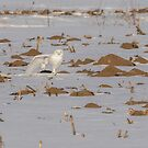 Stretching Snowy Owl 2016-1 by Thomas Young