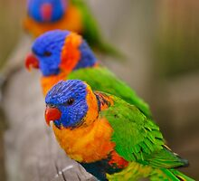 rainbow lorikeets by roger smith