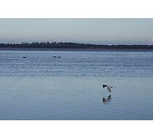 Flying Gull Photographic Print
