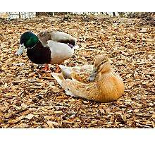 partner ducks Photographic Print