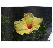 Blooming Yellow Hibiscus Flower Poster