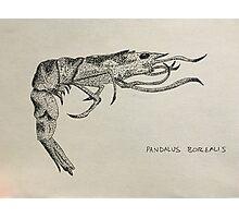 Shrimp illustration Photographic Print