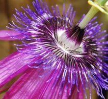 Lavender Lady Passiflora  Sticker