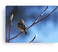 Siskin On Magnolia Branch Canvas Print