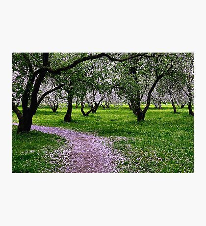 Apple Garden May Blossoming  Photographic Print