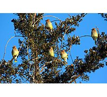 Ear-Full Of Waxwings Photographic Print
