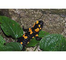Fire Salamander on Rock  Photographic Print