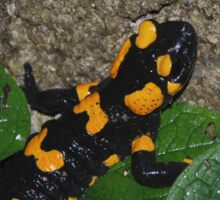 Fire Salamander on Rock  Sticker