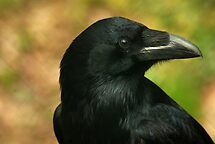Raven, totem bird ... by steppeland