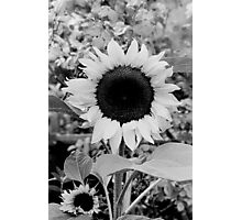 Sunflower Black and White  Photographic Print