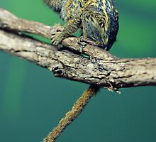 Pygmy Marmoset by roger smith