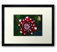 Tiger Red Dahlia Framed Print