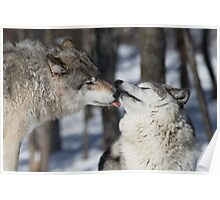 Timber Wolves in love Poster