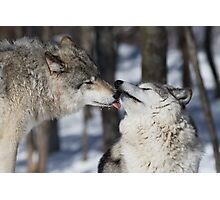 Timber Wolves in love Photographic Print